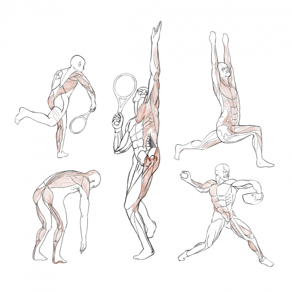 Illustrations of human musculature highlighting certain connected groups of muscles.